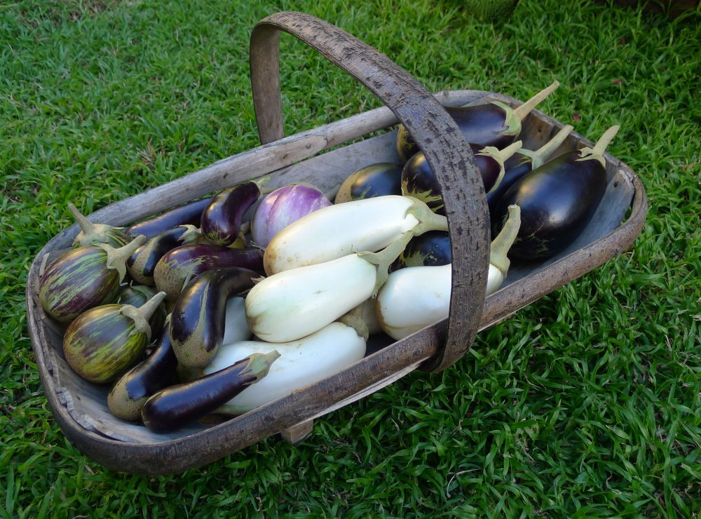 Eggplant cultivars (clockwise, from top) 'Early Long Purple'; 'Caspar'; 'Little Finger'; 'Udumalapet'; 'Listada de Gandia'