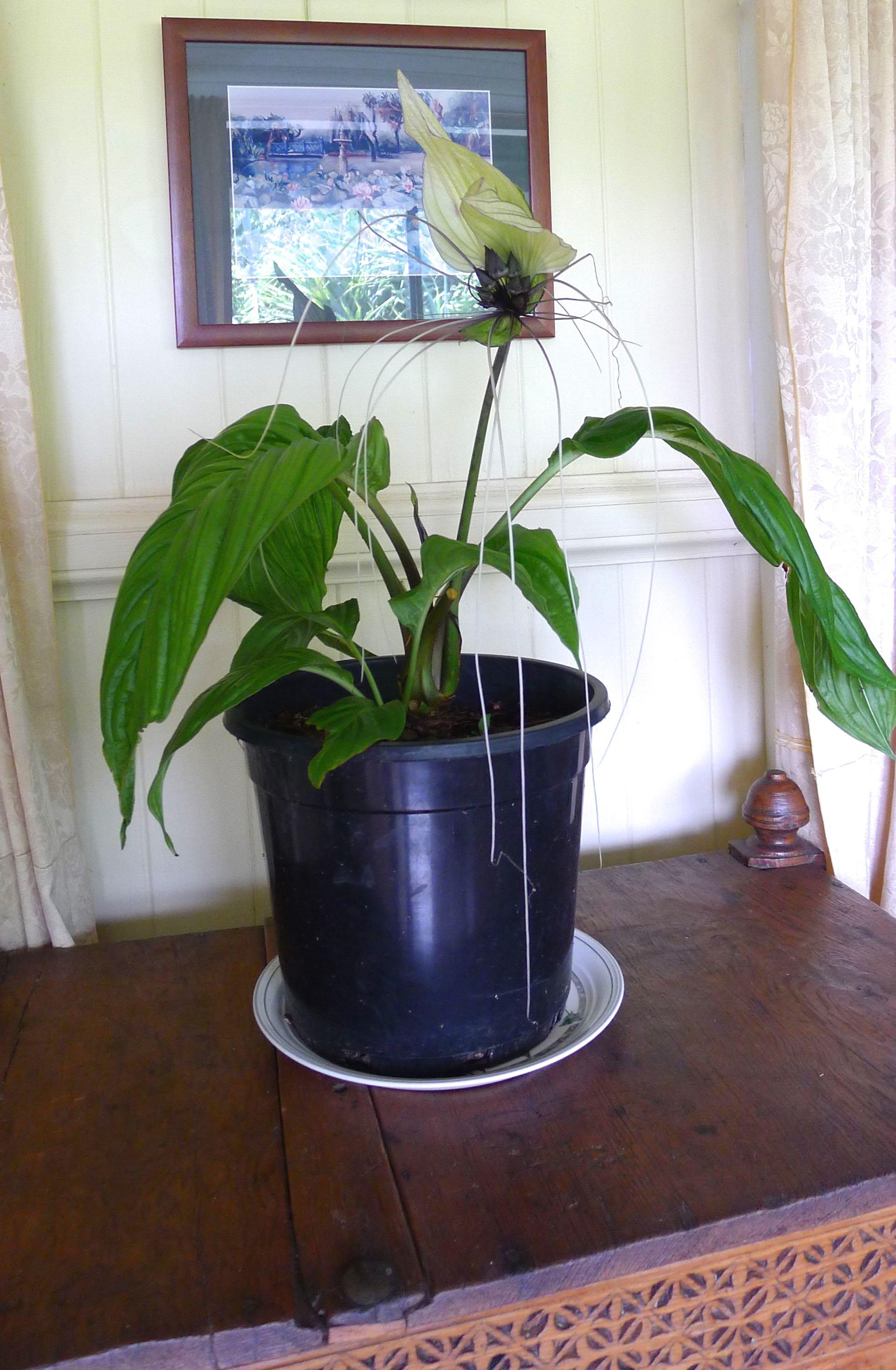Bat flower tacca chantrieri white form 1 jerry coleby williams jerry coleby williams mightylinksfo
