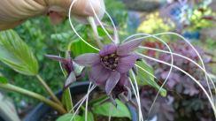 Giant Bat Flower, Tacca chantrieri