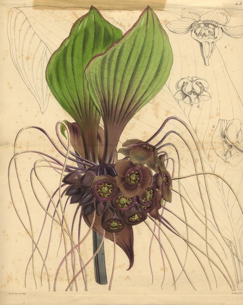Bat Flower, Tacca cristata