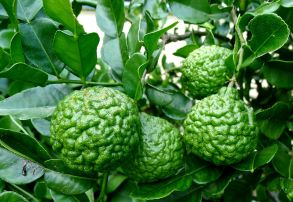 A 5.25kg harvest of kaffir lime fruit ensured sufficient jam to meet demand