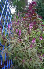 New trial: Lagos spinach, Celosia spicata, has tasty leaves and its flowers attract butterflies