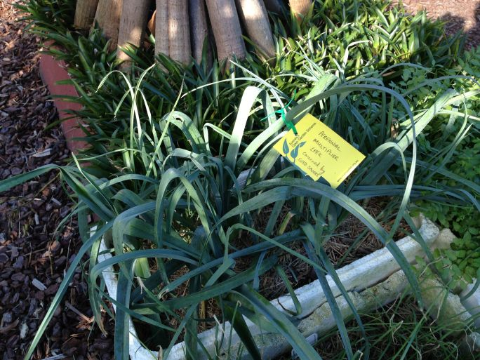 Localisation in action: Seed Savers' have acclimatised cool temperate annual leeks into this subtropical, perennial cultivar