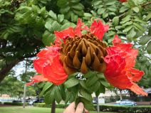 Dangerous invasive: African Tulip tree, Spathodea campanulata