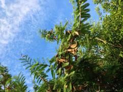 Tamarind, Tamarindus indica - 12