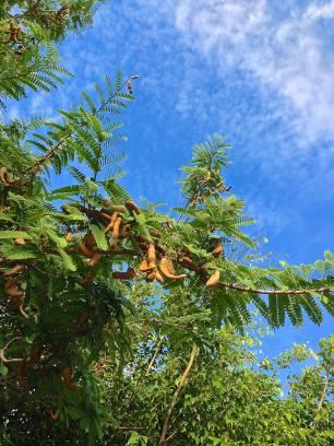 Tamarind pods, Tamarindus indica