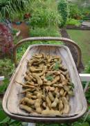 Tamarind pods are cooked whole to make tamarind paste