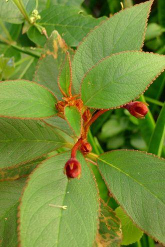Kohleria eriantha (Gesneriaceae) six weeks early