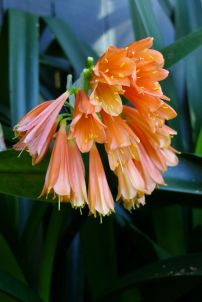 Clivia x cyrtanthiflora - flowering on time