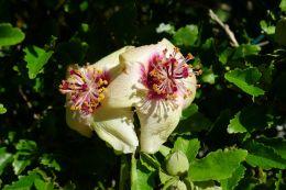 Hibiscus insularis - flowering gets earlier each year