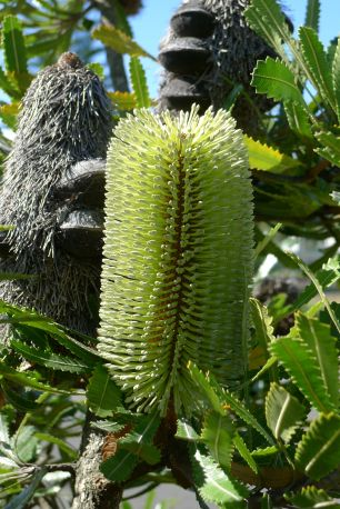 Banksia aemula - flowering on time