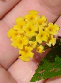 Lantana 'Drap d'Or' - flowering early