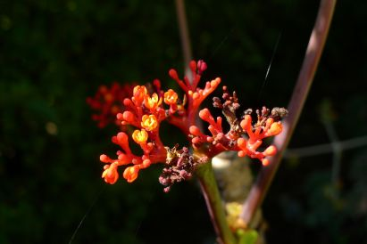 Jatropha podagrica - flowering early