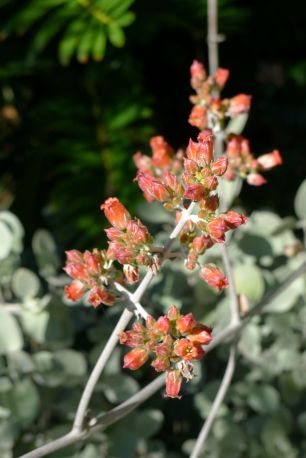 Kalanchoe orgyalis - flowering early
