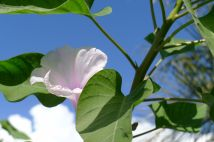 Ipomoea fistula - hasn't stopped flowering since last spring