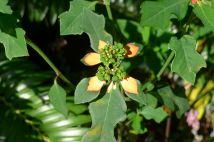 Euphorbia cyathophora - hasn't stopped flowering