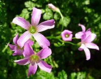 Oxalis acetosella - flowering on time