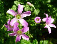 Oxalis acetosella - flowering on time
