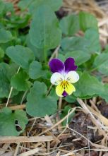 heartsease - flowering on time
