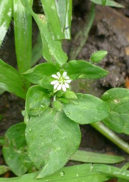 chickweed - flowering on time