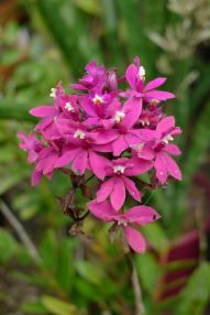 Epidendrum flowering on time. And suffering from caterpillar attack