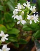 Epidendrum flowering on time