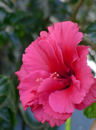 Hibiscus haven't stopped flowering