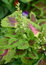Flame nettle hasn't stopped flowering this winter