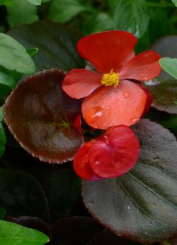 Begonia x semperflorens are flowering on time