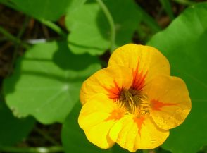 Nasturtium flowering on time