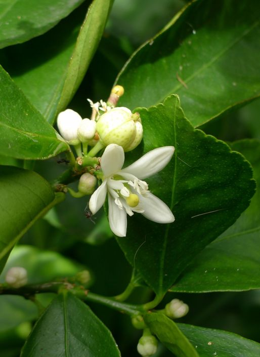 This lime isn't the only citrus to bloom early - my lemons and lemonade trees are in bloom