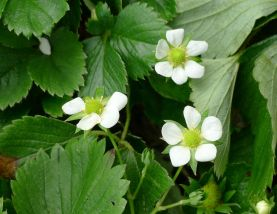 strawberry 'Red Gauntlet' are flowering on time