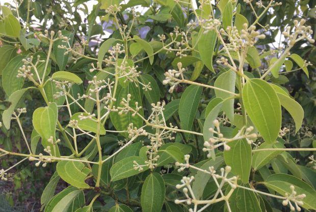 Winter is the new spring: In bud, cinnamon, Cinnamomum verum, 29/7/18