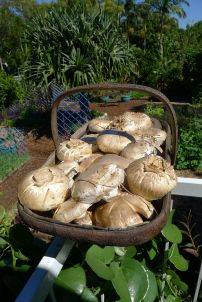 Today I picked 2.25kg of white button mushroom (Agaricus bisporus)