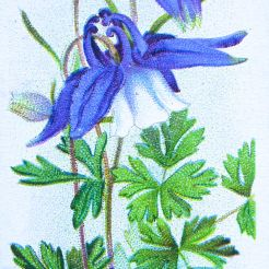 Alpine columbine, Aquilegia alpina, Wills' Alpine Flowers, 1913