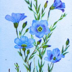 Alpine flax, Linum alpinum, Wills' Alpine Flowers, 1913