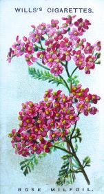 Alpine milfoil, Achillea millefolia f. rosea, Wills' Alpine Flowers, 1913