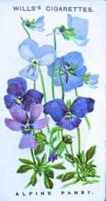 Alpine pansy, Viola calcarata, Wills' Alpine Flowers, 1913