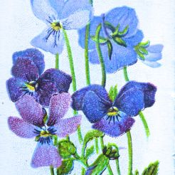 Alpine pansy, Viola calcarata, Wills' Alpine Flowers, 1913