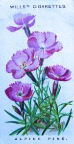 Alpine pink, Dianthus alpinus, Wills' Alpine Flowers, 1913