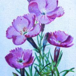 Alpine pink, Dianthus alpinus, Wills' Alpine Flowers, 1913