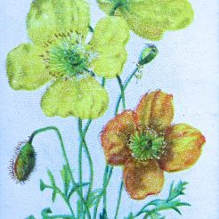 Alpine poppy, Papaver alpinum, Wills' Alpine Flowers, 1913