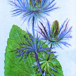 Alpine sea holly, Eryngium alpinum, Wills' Alpine Flowers, 1913
