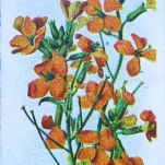 Alpine wallflower, Cheiranthus alpinus, Wills' Alpine Flowers, 1913