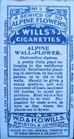 Alpine wallflower, Cheiranthus alpinus, Wills' Alpine Flowers, 1913