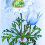 Alpine windflower, Anemone alpina, Wills' Alpine Flowers, 1913