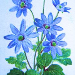 Anemone hepatica, Wills' Alpine Flowers, 1913
