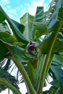 'Dwarf Ducasse' banana flowers