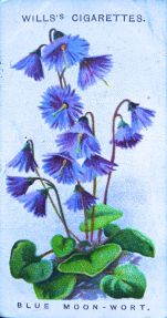 Blue moonwort, Soldanella alpina, Wills' Alpine Flowers, 1913