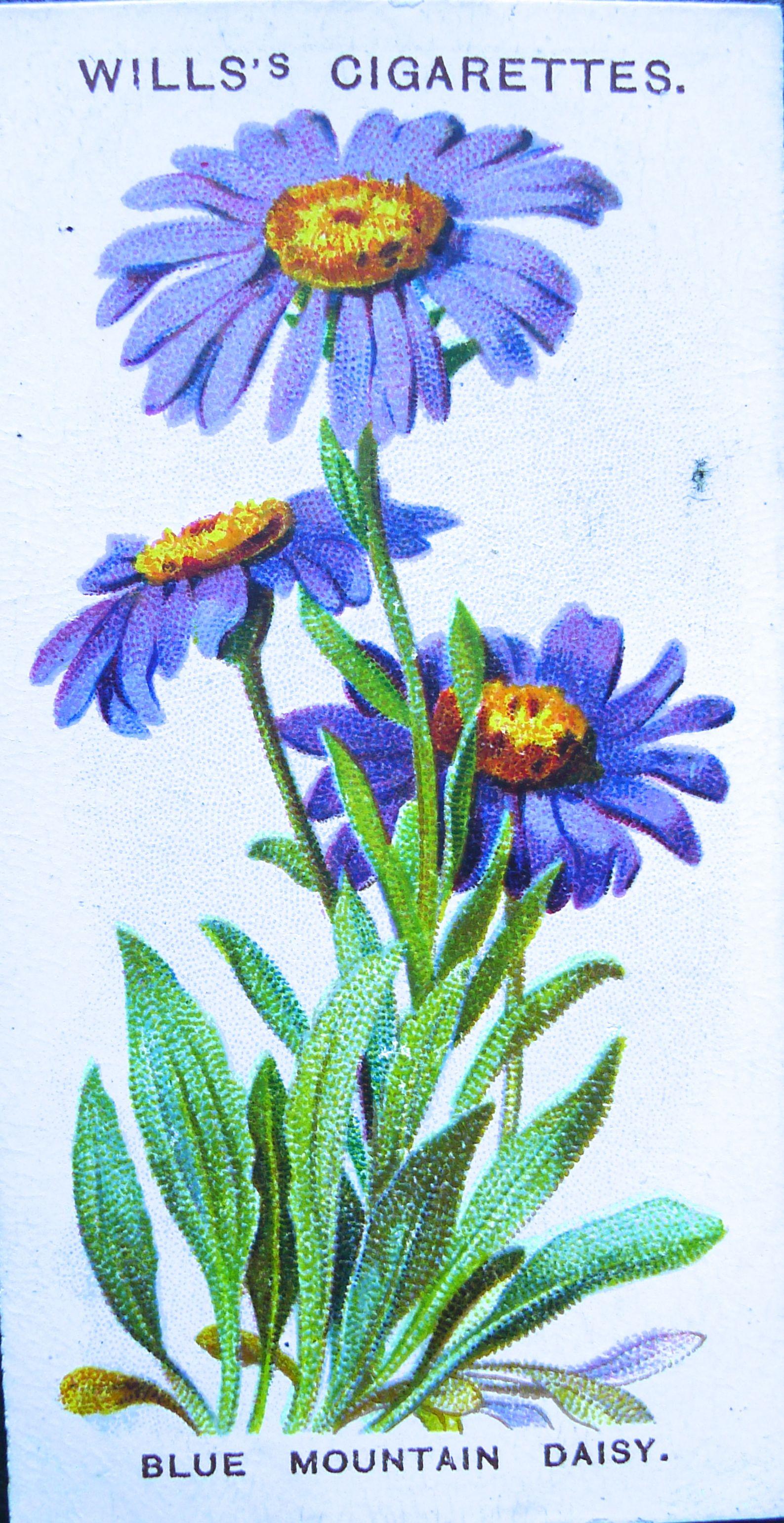 Blue mountain daisy aster alpinus wills alpine flowers 1913 1 1587 3081 in memories of alpine flowers blue mountain daisy aster izmirmasajfo